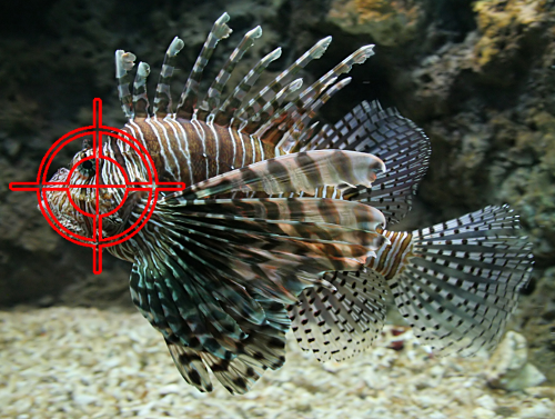 Aim for the Head when Hunting Lionfish